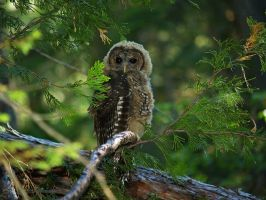 Spotted Owl Juvenile 2 by invisiblelife