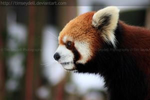 Red Panda 02 by timseydell