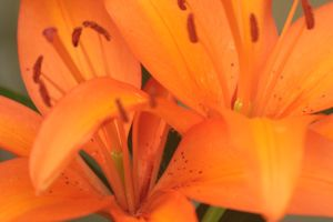 Fantastic fire lillies by Laur720