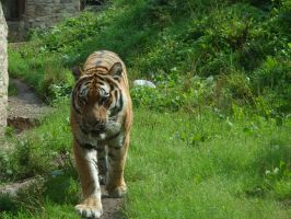 Tiger in the zoo by Carlitos-Girl