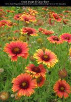 Blanket Flowers Stock 2 by Cassy-Blue