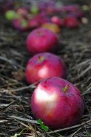 deer apples by LucieG-Stock