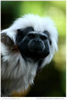 Cotton Top Tamarin by In-the-picture