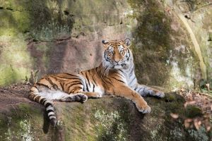 Tiger, Nuernberg II by FGW-Photography