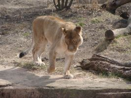 Lioness Stock 4 by disfunctions