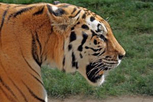 Tiger Close Up by Pattarchus