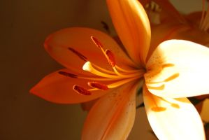 Bright Orangy Lilly by mr-macd