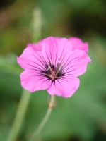 Small Pink flower. by asaluiphotography
