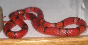 Red and black snake by Myxophobic