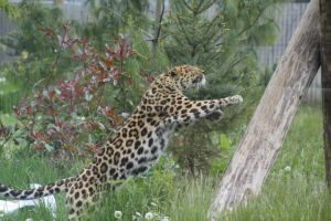 Amur Leopard 13 by lucky128stocks