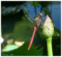 Dragonfly Resting by Belldandy1