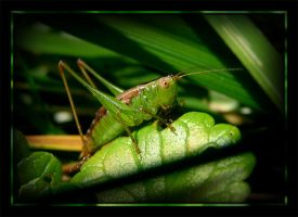 So does every katydid do it... by MuseSusan
