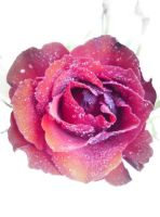 Beautiful rose by expectatinqs