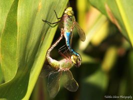 Dragonflies Mating by TabithaS-Photography