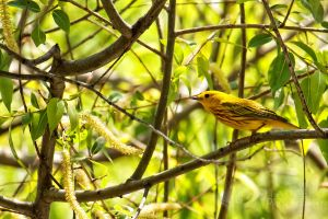 Yellow Warbler by shaguar0508