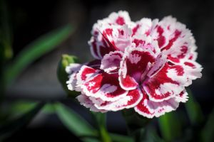 Mottled mini Carnation by sztewe