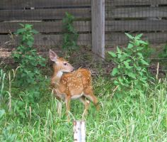 Orphaned Fawns 3 by Windthin