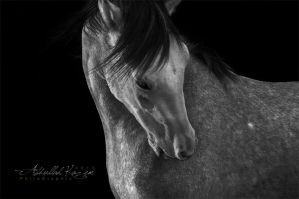 The Horse by PhiloGraphic