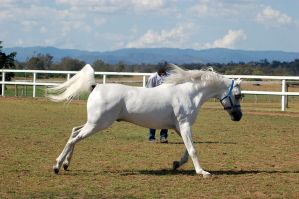 GE Arab white canter/trot side view by Chunga-Stock