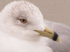 Seagull 2 by Pyritie