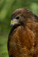 Red Shouldered Hawk by SteelCowboy