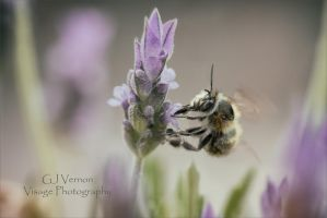 Solitary Bee by GJ-Vernon
