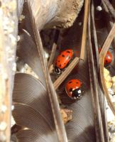 ladybugs by MartinGollery