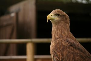 eagle1 by CO2PHOTO-stock