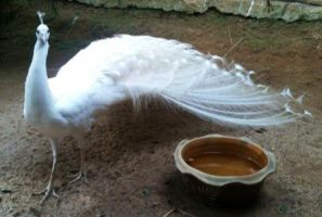 Another Pic of an Albino/White Peacock by Animefangirl68