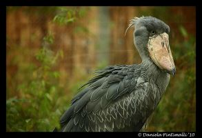Evil Shoebill by TVD-Photography