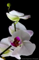 Orchids by DrAndrei