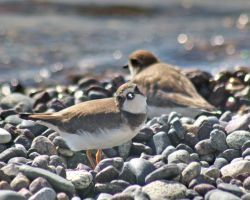 Plover by kc267267
