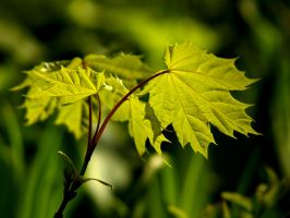 young leaf by AdrianaKH-75