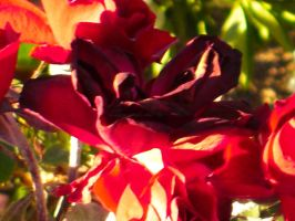 Fall Reds and Petals II by Coopykepher