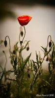 Poppy flower by rott-man