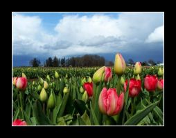 Tulips Down Low by Lelleean