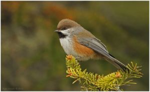 Boreal Chickadee by Ryser915