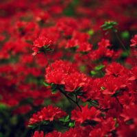 Red Flowers. by inbrainstorm