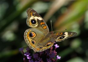 Common Buckeye #2 by JED1948