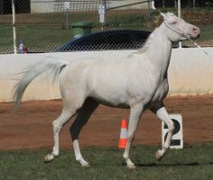 Cremello arabian stock 1 by xxMysteryStockxx