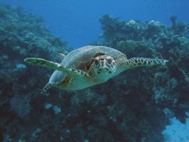 Curieuse tortue by scubapic