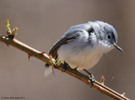 Blue-gray Gnatcatcher by EWilloughby