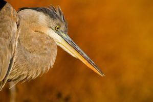 Heron Close up by bovey-photo