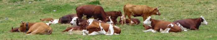 Cows resting by Sandy06