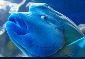 Humphead Wrasse by runique