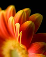 Gerbera closeup by AlexWilson