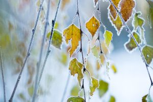 Frozen leaves by sampok