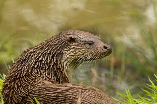 Soggy Otter by mansaards