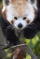 Red Panda 47-039 by lomoboy