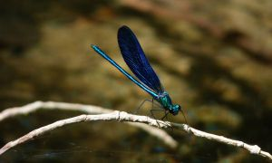 Blue Dragonfly by MiDulceLocura